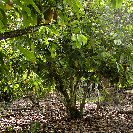 hvor kommer kakaotræet fra