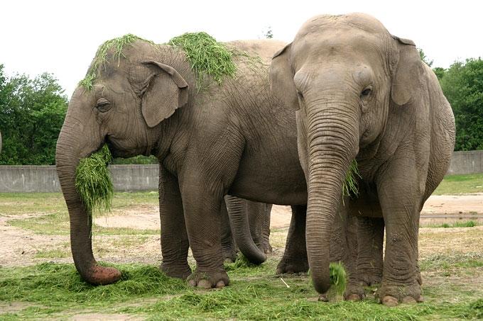 elefantarter