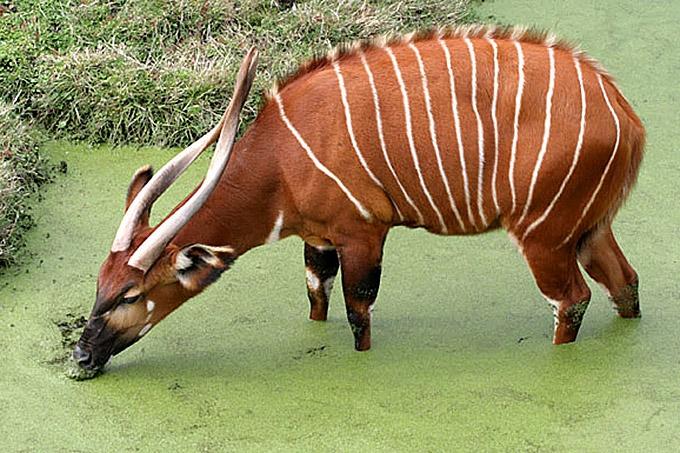 verdens største antilope
