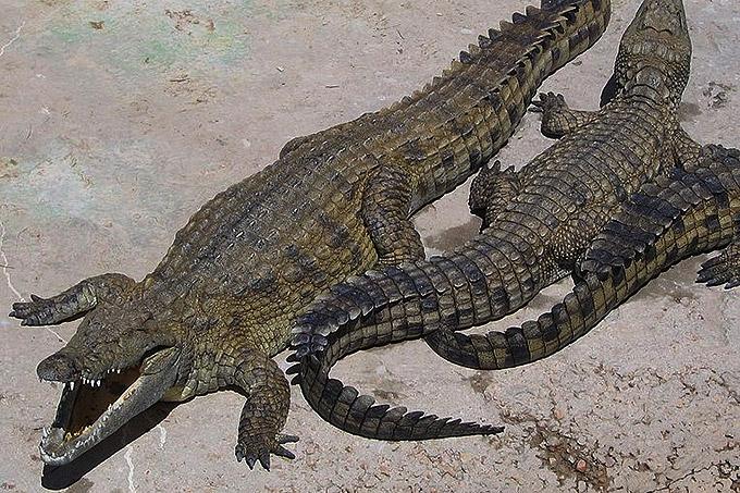 hvor hurtigt kan en krokodille løbe