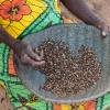 Når de hvide myrer er helt tørre, piller man skallen af dem. Nu kan de koges eller spises rå. - Foto: Emmanuel Museruka