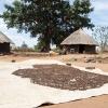 Der er mange myrer i myretuerne rundt om landsbyen. Myrerne lægges til tørre i solen. - Foto: Heidi Brehm