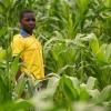 Majsplanterne vokser hurtigt. De sikrer familien mad. Majsen bruger man blandt andet til posho, som er en majsgrød. - Foto: Emmanuel Museruka