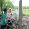 Elkin elsker dyrene. Køerne kommer hen til huset, når de skal drikke vand. – Foto: Heidi Brehm