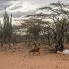 Dyr leder efter føde og vand i det tørre område - foto: Andreas Beck