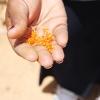 Safran er verdens dyreste krydderi. Det kommer fra safrankrokussen. I Jordan bruger man tit safran i forskellige retter med ris. Foto: Line Agerlin Trolle