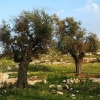 Oliventræer tæt på Amman. Oliventræer kan blive op til 1000 år gamle. Når oliven er modne, plukkes de. De fleste oliven kommer i en saltlage eller laves til olivenolie. Foto: Adeeb Atwan